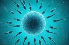 Скільки живуть сперматозоїди: на повітрі, у матці, у піхві