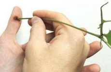 Настоянка чистотілу від бородавок: застосування та видалення