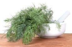 Кріп сечогінний чи ні, як заварювати насіння кропу – рецепт сечогінного засобу