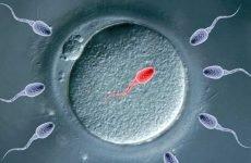 Скільки живуть сперматозоїди в матці: який життєвий цикл