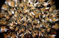 Бджолиний підмор для чоловіків: застосування, при простаті