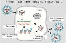 Вірусне навантаження при гепатиті C: розшифровка, таблиця норми, як її знизити