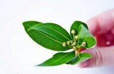 Лікування циститу лавровим аркушем | Рецепт приготування і свідчення