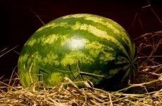 Вибір кавуна – як зробити правильний вибір і взяти стиглу ягоду