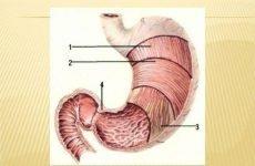 Атонія шлунка: симптоми, лікування, причини та діагностика