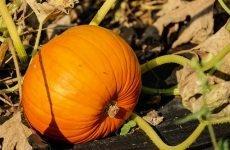 Гарбуз для чоловіків: насіння гарбуза, користь і шкода