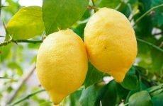 Можна їсти лимон або інші цитрусові при гастриті?
