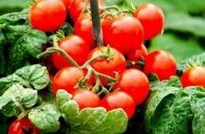 Можна їсти помідори і огірки при гострому і хронічному гастриті?