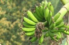 Банани користь і шкоду для організму, скільки можна з'їсти для здоров'я