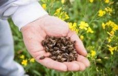 Підмор бджолиний – настоянка на спирту: відгуки, рецепти для застосування, як приготувати?