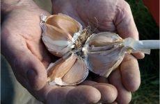 Лікування грибка нігтів часником: 6 способів і профілактика