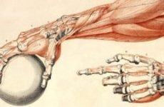 Будова руки людини з назвами: м'язи кисті, плеча та передпліччя