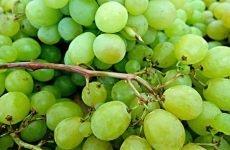 Виноград користь і шкоду для організму:під час вагітності та його калорійність