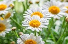 Ромашка підвищує або знижує тиск? Склад і користь цілющого квітки