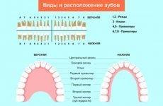 Що таке зуби моляри: будова, функції та прорізування