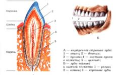 Видалення ікла верхньої щелепи: етапи та особливості проведення операції