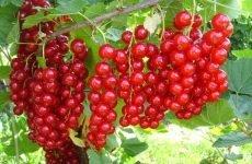 Червона смородина: корисні властивості для здоров'я людини