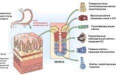 Секреція шлунка: функції, коли починається вироблення