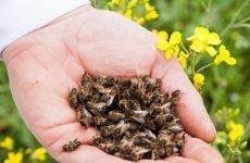 Бджолиний підмор для шлунка: як використовувати, властивості