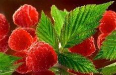 Користь малини для здоров'я: склад продукту, вітаміни, показання та протипоказання