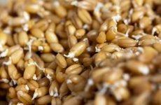 Проростки пшениці: як вживати їх у їжу правильно