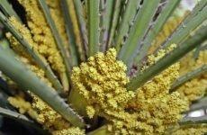 Пальмова пилок: що це, користь і шкоду для здоров'я
