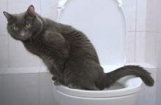 Пронос (діарея) у кота: що робити, чим лікувати?