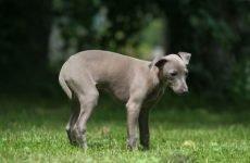 Пронос і блювання у собаки: що робити?