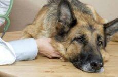 Пронос зі слизом у собаки: причини і лікування