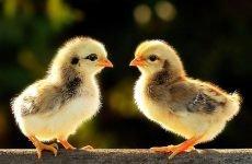 Пронос у курчат: чим лікувати?