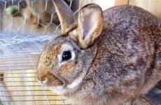 Пронос у кроликів: як і чим лікувати?