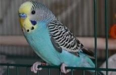 Пронос у папуги: що робити, чим лікувати?