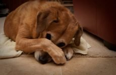 У собаки пронос з кров'ю: що робити?