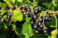Чим корисна чорна смородина для здоров'я