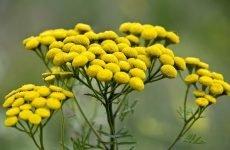 Квітки пижма: цілющі властивості, застосування, показання
