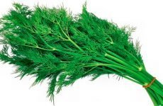 Корінь кропу: склад і особливості, користь і шкоду для організму