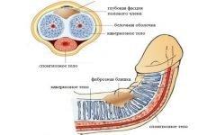 Хвороба Пейроні у чоловіків: причини, симптоми, діагностика, лікування в домашніх умовах і операцією