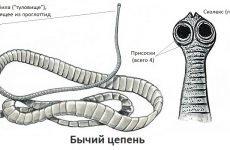 Бичачий ціп'як (черв'як солітер): симптоми у людини, життєвий цикл паразита, як від нього позбутися