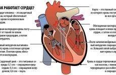 Анатомія коронарних артерій: функції, будова та механізм кровопостачання