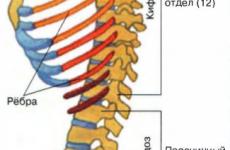 Будова хребта людини: нумерація дисків, анатомія шийного, поперекового і грудного відділу, функції, схема