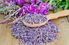 Іван чай – квітка: корисні властивості і протипоказання